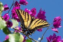 Tiger Butterfly On Bougainvillea Flowers Against Clear Blue Sky