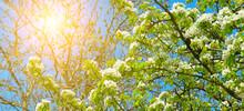 Flowering Branch Of Pear. Wide...