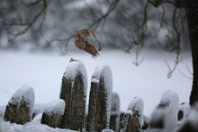 Flying Eurasian Tawny Owl, Strix Aluco, In The Winter Near Jewish Cemetery. Carnivore, Hunter.