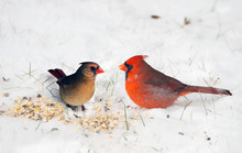 Male And Female Cardinal Eating Seeds In The Snow.