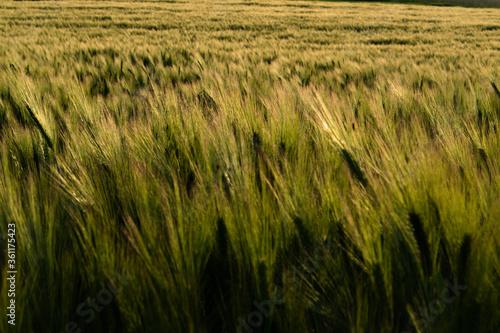 Fotografie, Obraz Ein Getreidefeld im Sommer