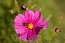 Macro Shot Of A Bee On A Pink Cosmos Bipinnatus Flower
