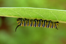 4th Instar Monarch Butterfly L...