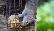 A Cheeky Baby Squirrel Eating Bird Food In A Garden