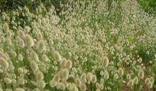 Fluffy Head Seeds Of Wild Flowers