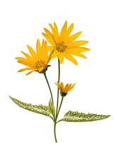 Flowering Heliopsis Loraine Sunshine (common Named Rough Oxeye Or False Sunflower) With Variegated Leaves Isolated On White Background. Beautiful Perennials For The Garden.