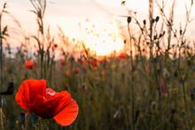 Beautiful Red Poppy Flower Clo...