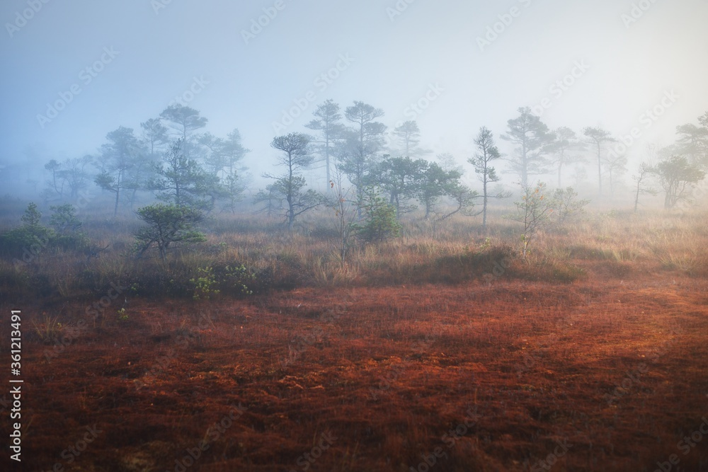 Fototapeta Bog in a morning mist at sunrise. Young pine trees and forest floor of blooming heather flowers, close-up. Clear sky. Idyllic landscape. Environmental conservation in Kemeri national park, Latvia