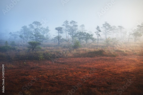 Bog in a morning mist at sunrise. Young pine trees and forest floor of blooming heather flowers, close-up. Clear sky. Idyllic landscape. Environmental conservation in Kemeri national park, Latvia