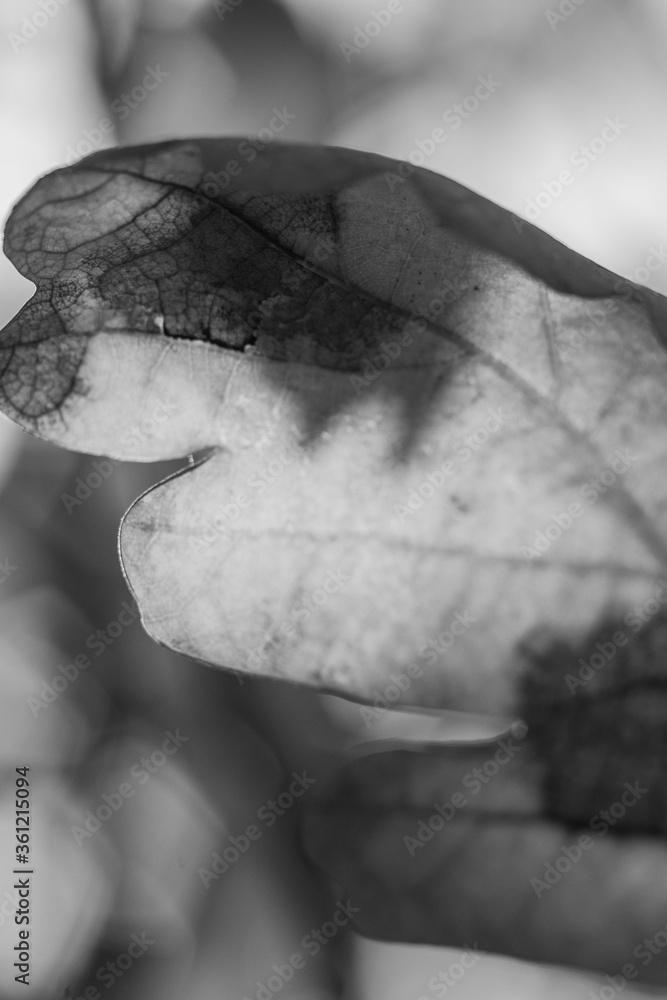 Fototapeta Liść czarno-biały światłocień