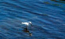 Snowy Egret Catches Fish In We...
