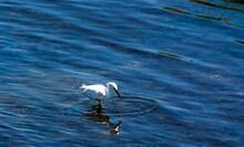 Snowy Egret Catches Fish In Wetlands