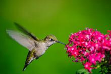 Hummingbird Feeding On A Flower