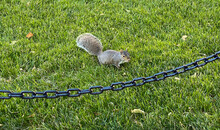 Squirrel In The Park Chain-lin...