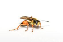 Great Golden Digger Wasp Or Sand Digger - Sphex Ichneumoneus