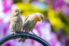 Pair Of House Finches Cuddle A...