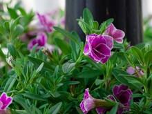 Closeup Shot Of Nyctaginaceae,...