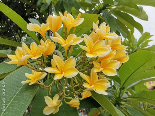 Fotografie, Obraz A yellow white frangipani flower or bunga kamboja with a background of branches