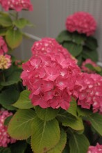 Vertical Shot A Pink Hortensia Bush On A Background Of More Flowers And A Gray Metal Fence
