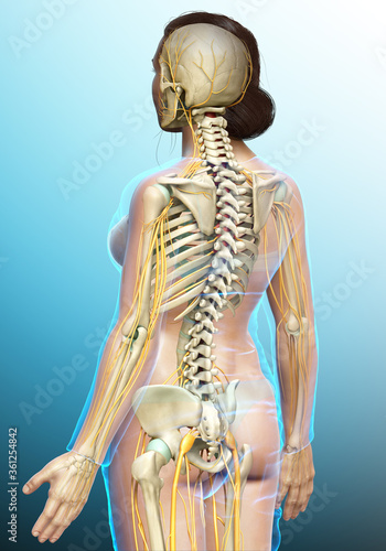 3d rendered medically accurate illustration ofa female nervous system and skelet Canvas Print