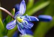 Leinwandbild Motiv Blue flower on the nature in spring.