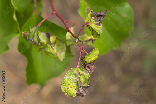 Cuadros en Lienzo Insect leaves, spoiled fruit leaves, garden pests
