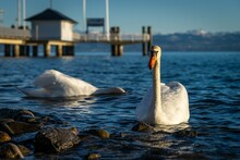 Beautiful Shot Of  Two Swans S...