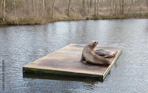 Fototapeta Californian sea lions resting