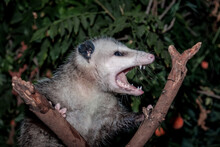 Virginia Opossum (Didelphis Virginiana) In Garden, Los Angeles, California, USA