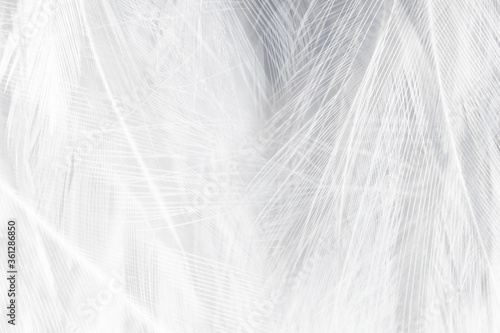 Obrazy do sypialni  beautiful-white-feather-wooly-pattern-texture-background