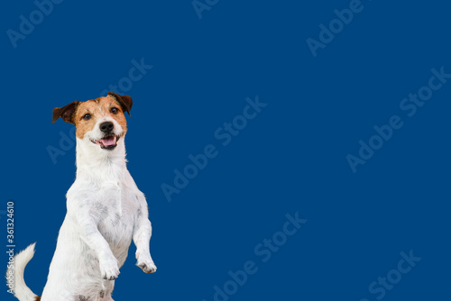 Fotografie, Tablou Dog begging for food or treat standing on hind legs against solid color backdrop