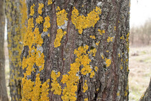 A Lot Of Yellow Moss On The Trunk Of A Thick Tree