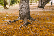Selective Focus Complex Above Ground Root System Of A Tree Surrounded By Fallen Autumn Leaves. Roots From A Tree Grow Above Ground, Covered In Autumn Leaves.