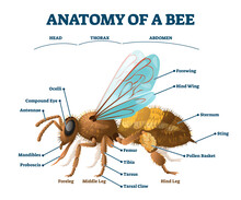 Anatomy Of Bee Educational Lab...