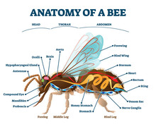 Anatomy Of Bee With Inner Orga...
