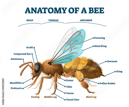 Photo Anatomy of bee educational labeled body structure scheme vector illustration