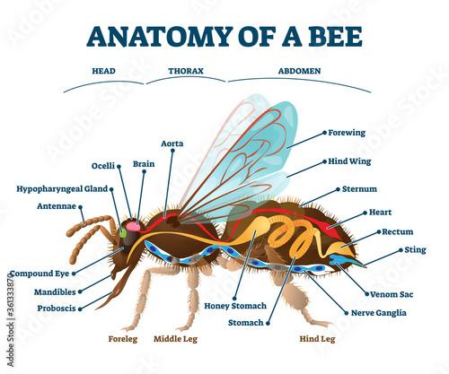 Tela Anatomy of bee with inner organs educational scheme vector illustration