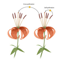 The Process Of Cross And Self Pollination. Reproduction In Plant