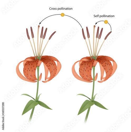 Carta da parati The process of cross and self pollination. Reproduction in Plant
