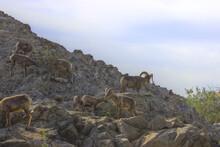 Bighorn Sheep At The Zoo