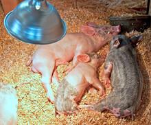 Three Small Piglets Sleeping U...