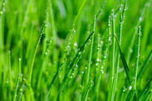 Bright Green Grass Background With Long Straight Leaves In Water Drops. Empty Botanical Layout For Text