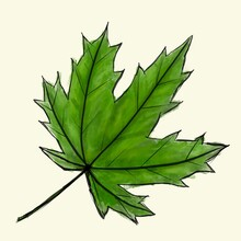 Digital Sketch Maple Leaf. Black Doodle Outline And Green Colored Foliage Isolated On White. Watercolor Imitation Bright Dark And Light Colors With Stains. Natural Product