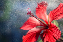 Close-up Of Red Hibiscus Flower With Drops Of Water, Dew Or Rain In Backlight. Postcard Closeup