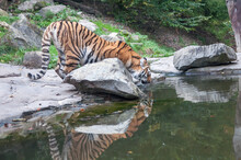 Bengal Tiger Indian Tiger  Drinking Water Near Forest Stream In Its Natural Habitat At Sundarbans Forest. Subspecies In Asia Is Listed As Endangered. Biggest Wild Cat In Indian Wildlife National Park