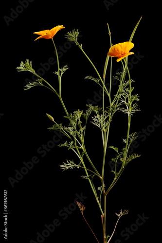 Fotografie, Obraz Californian Poppy (Eschscholzia californica). Habit