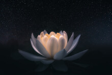 White Lotus Flower Illuminated...