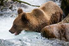 Majestic Brown Bear, Ursus Arc...