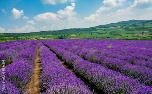 Fototapeta landscape with a flowering lavender culture obraz na płótnie
