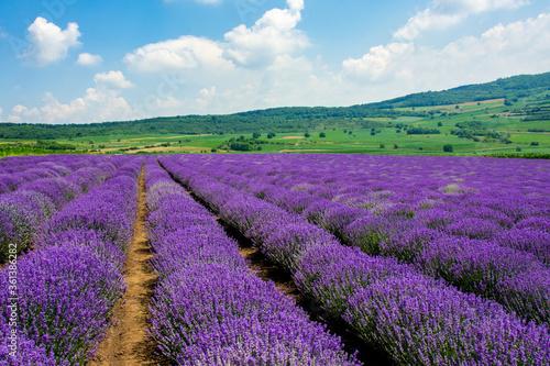 Fototapeta a beautiful landscape with a lavender field obraz na płótnie